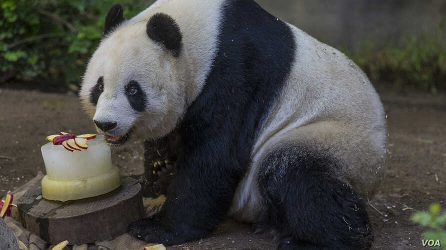 Bai Yun, a giant panda at the San Diego Zoo, celebrated her 24th birthday with a tasty slushy cake made with applesauce and filled with chunks of apples, carrots, and yams, Sept. 7, 2015. (Courtesy of San Diego Zoo)