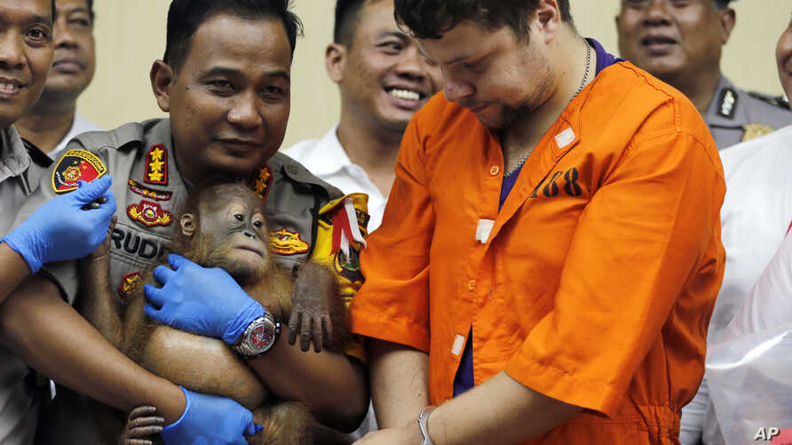 Denpasar police chief Ruddi Setiawan (C-L) holds a two-year-old male orangutan as Russian Andrei Zhestkov (R) stands during a press conference in Bali, Indonesia on March 25, 2019.