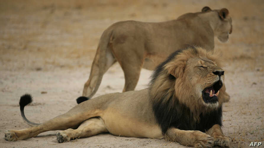 "This handout picture taken on October 21, 2012 and released on July 28, 2015 by the Zimbabwe National Parks agency shows a much-loved Zimbabwean lion called ""Cecil"" which was allegedly killed by an American tourist on a hunt using a bow and arrow, th"