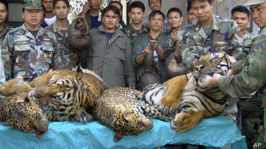 FILE - Thai Navy officers and forestry officials display seized dead tigers, leopards and pangolins in That Phanom district of Nakhon Phanom province, northeastern Thailand, Jan. 29, 2008. Conservation groups say Laos has promised to phase out tiger