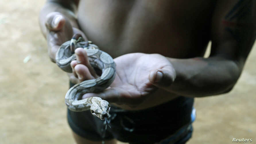 A member of the Amazonian Tatuyo tribe holds a snake while waiting for tourists in his village in the Rio Negro (Black River) near Manaus city, Brazil, June 23, 2014.
