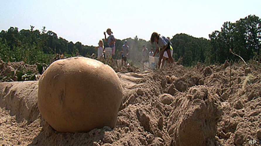 Children with a church group help harvest potatoes that will be sent to area food banks to help feed the hungry.