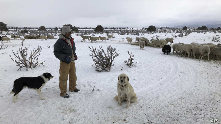 In this Wednesday, Feb. 20, 2019 photo shepherd Javier Zamoron rests alongside herding dogs after providing hay to a flock of hundreds of sheep on a ranch outside Tierra Amarilla, N.M.