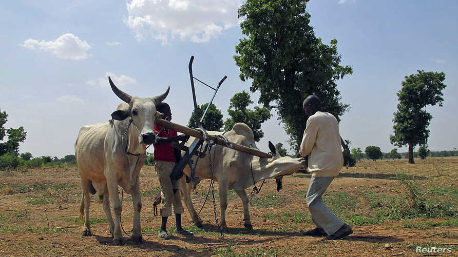 Children play with cows used for plowing at farms in Saulawa village, on the outskirts of Nigeria's north-central state of Kaduna, May 15, 2013.