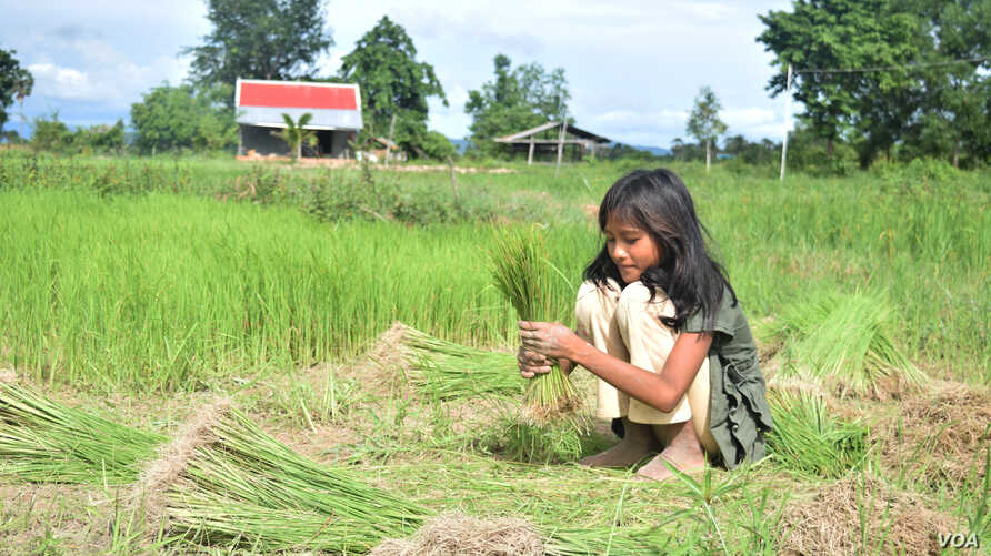 A child in Kampot province, helps her family in the rice field, August 10, 2016. (S. Khan for VOA)