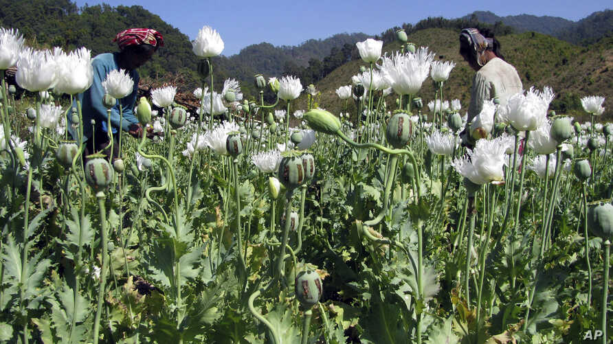 FILE - Villagers harvest opium in a field in Burma's Shan state.