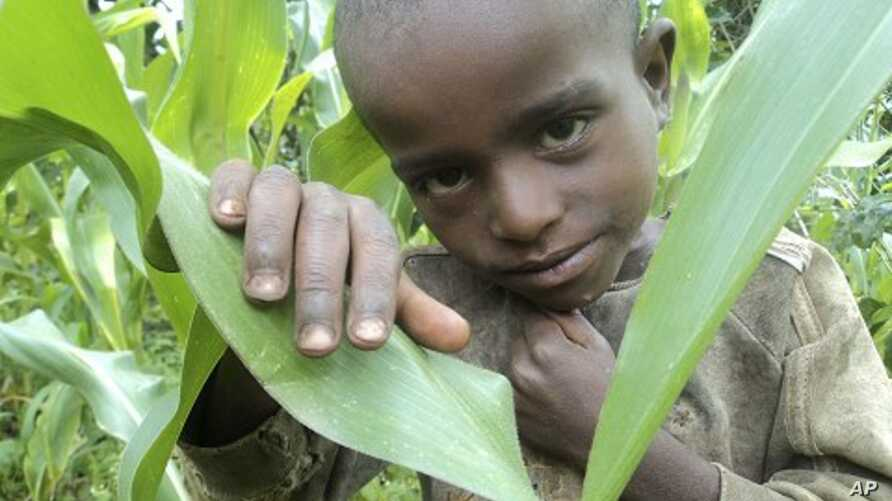 A boy in his father's cornfield who subsists on a diet of grain, but reliance on one food crop leaves the family vulnerable to crop failure and malnourishment, in Shebedino in the south of Ethiopia. (File photo)