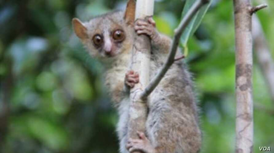 Microcebus ganzhorni, a new species of mouse lemurs discovered by scientists at UK, the German Primate Center and Duke Lemur Center. Photo by Giuseppe Donati.