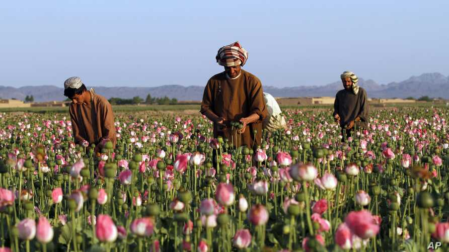 FILE -  farmers harvest raw opium at a poppy field in the Zhari district of Kandahar province, Afghanistan.