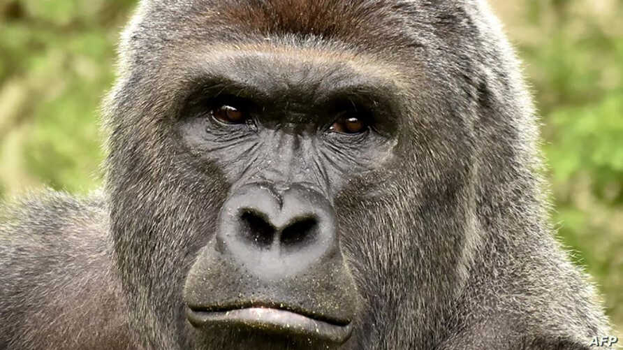 This undated photo obtained May 30, 2016 courtesy of the Cincinnati Zoo shows gorilla Harambe. Workers at the Cincinnati Zoo in the US state of Ohio shot and killed a gorilla on May 28, 2016 after a three-year-old boy fell into its enclosure, officia...