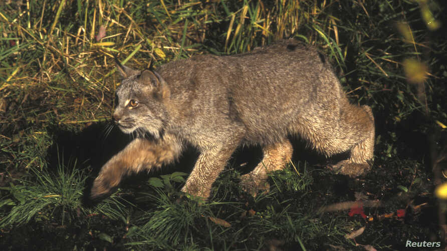 A Canada lynx is shown in this U.S. Fish and Wildlife Service handout photo.
