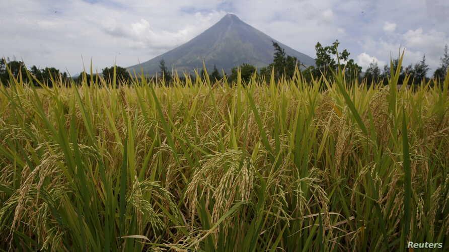 Rice stalks ready for harvesting are pictured in a field near the Mayon volcano in Daraga, Albay, in central Philippines, April 3, 2016.