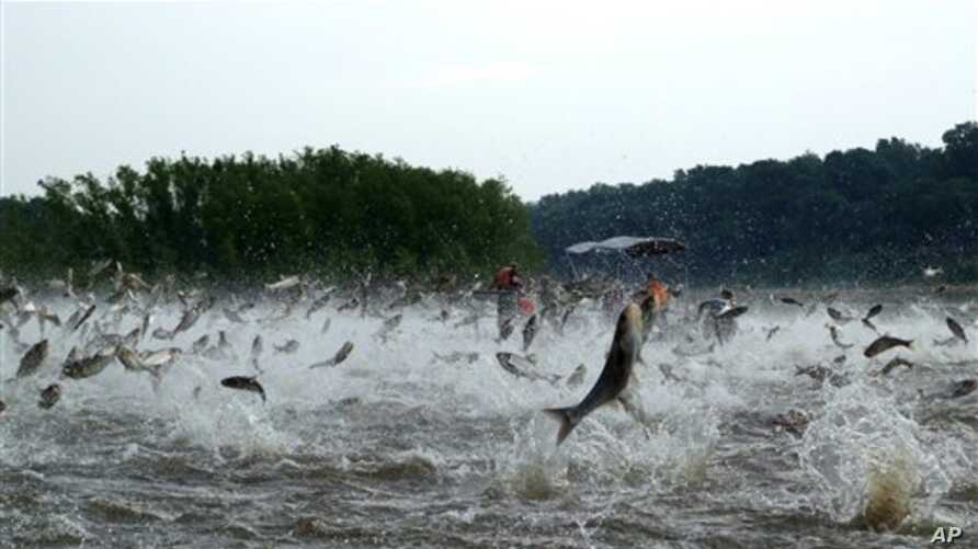 This December 2009 photo shows Illinois River silver carp jumping out of the water after being disturbed by sounds of watercraft.