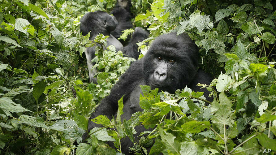 FILE - Two mountain gorilla are seen in the Virunga National Park, near the Uganda border in eastern Congo.