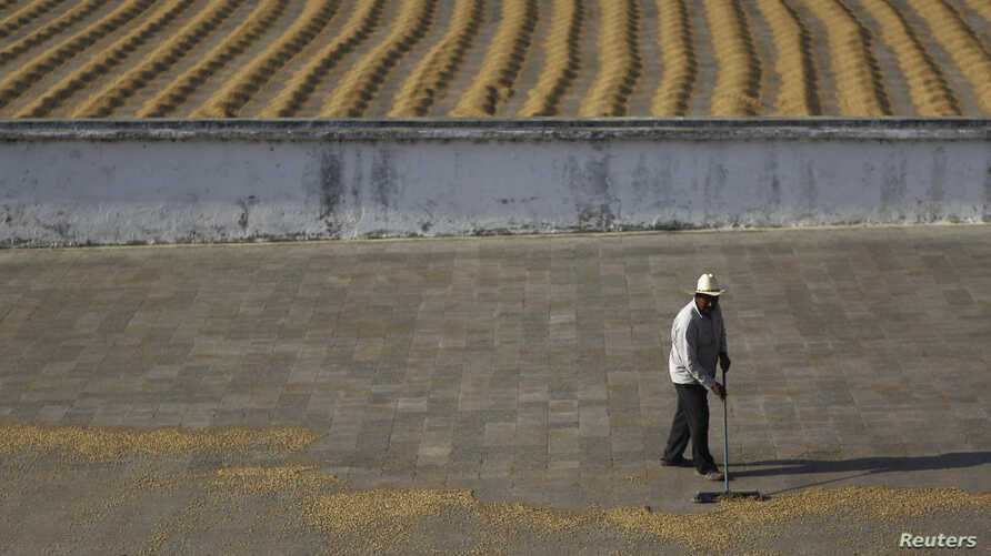 A worker dries coffee beans at the Beneficio coffee farm in Santa Rosa de Lima,  50 km (31 miles) from Guatemala City, Feb. 13, 2013.