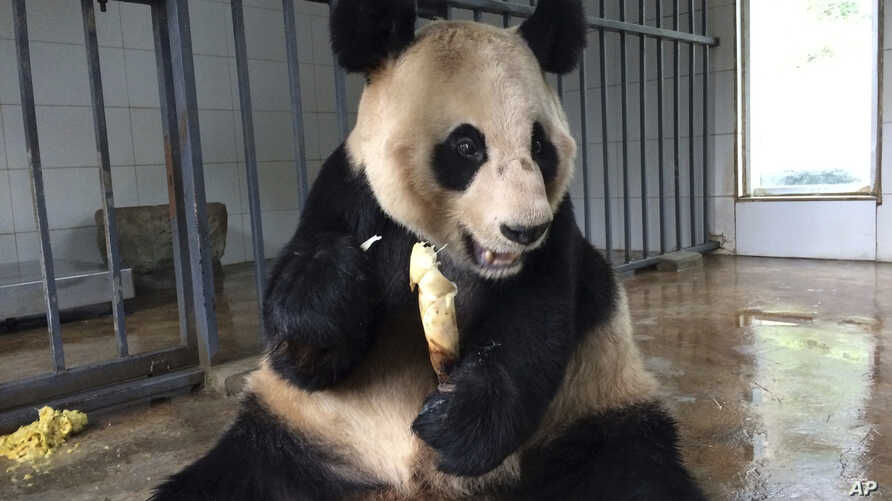 Female Giant Panda Qiao Yuan, 24, eats a bamboo shoot at the China Conservation and Research Center for the Giant Panda Dujiangyan Base in the southwestern province of Sichuan, March 25, 2017.