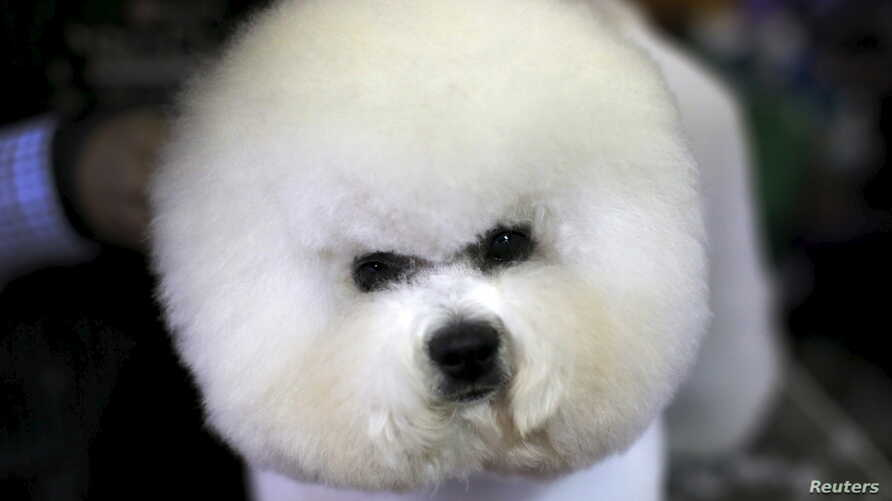A Bichon Frise is groomed in the benching area before judging at the 2016 Westminster Kennel Club Dog Show in the Manhattan borough of New York City, February 15, 2016.