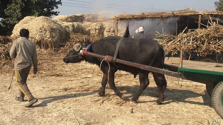 Villagers in Uttar Pradesh say they suffered crop losses because of a huge spike in the numbers of  stray cows who enter their fields.
