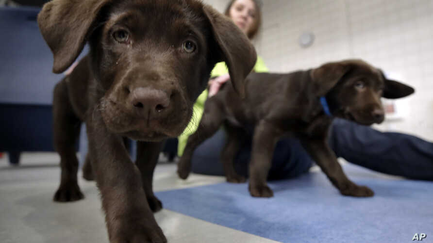 Inmate Shasta Pepper watches chocolate lab puppies play at Merrimack County Jail in Boscawen, N.H., Jan. 8, 2019.