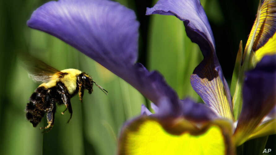 FILE - A bumble bee flies toward a flower in Springfield, Ill., May 15, 2012