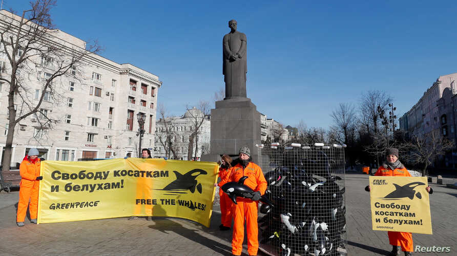 """Greenpeace activists attend a protest in Moscow, Feb. 19, 2019, against a so-called """"whale prison,"""" where white whales and orcas are held in cages in the Russian Far East. Banners read: """"Freedom to orcas and white whales."""""""