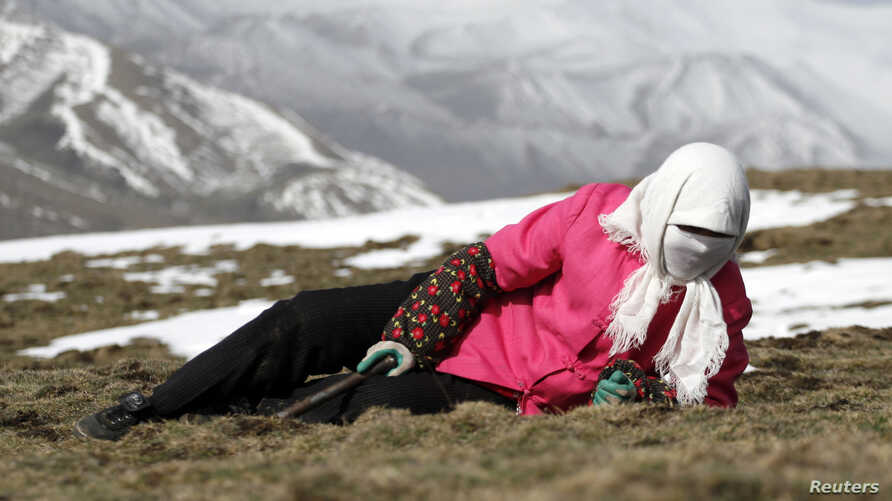 FILE - Local resident searches for caterpillar fungus, also known as Cordyceps Sinensis, a traditional Tibetan medicine that lures herders into a feverish treasure hunt that promises wealth to people who have often been bystanders at China's economic