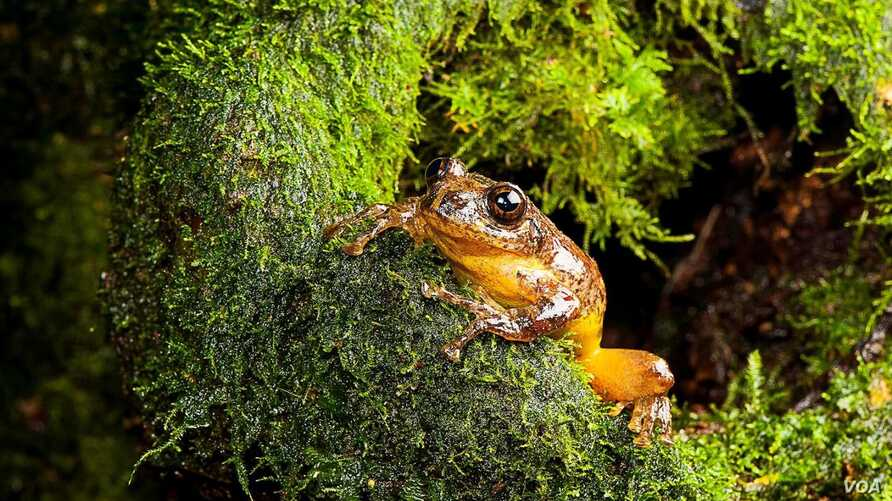 An adult male of Frankixalus jerdonii is emerging out of a tree hole. (SD Biju)