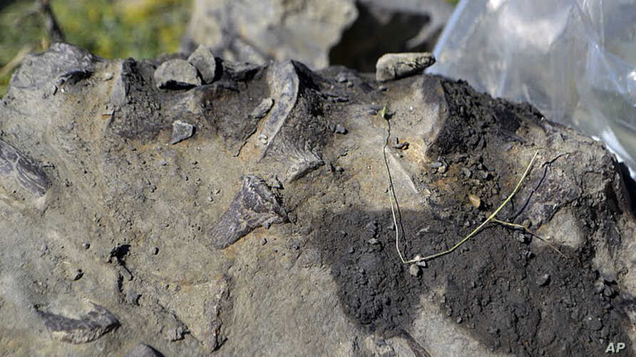 This July 14, 2011 provided by the U.S. Fish and Wildlife Services shows fragments of bone protruding from the top edge of this piece of shale are several plesiosaur vertebrae, at the Charles M. Russell National Wildlife Refuge, Montana.