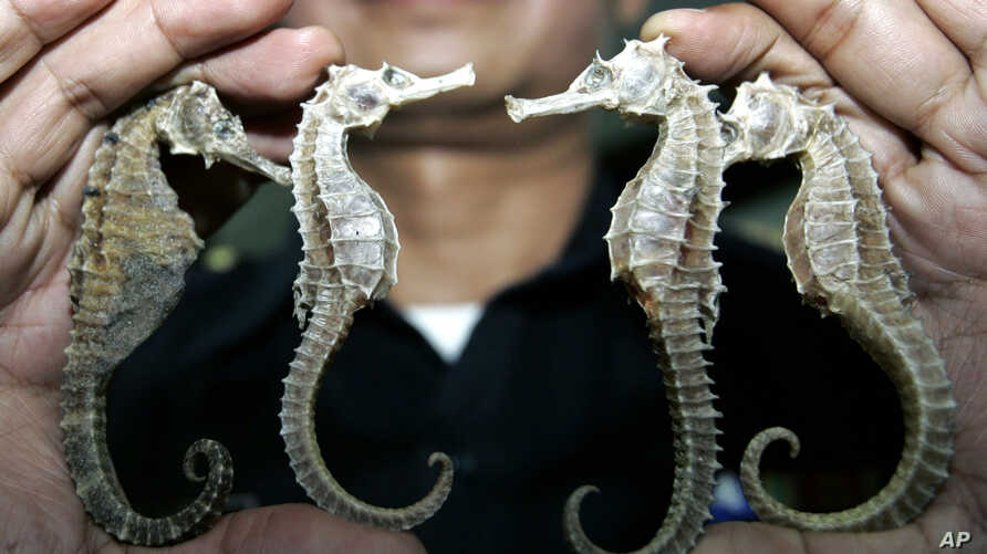 Thailand Saving Species Seahorses: FILE - In this March 16, 2007 file photo, a Thai customs official shows confiscated seahorses during a press conference in Bangkok. Thailand, the biggest exporter of seahorses, is suspending trade in the animal beca