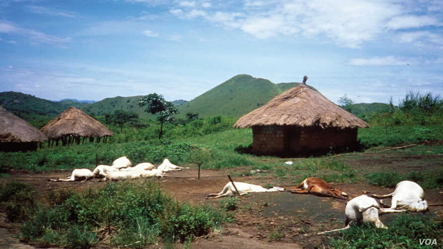 FILE - Dead cattle and surrounding compounds in Nyos village, Sept. 3, 1986. (Credit: USGS)