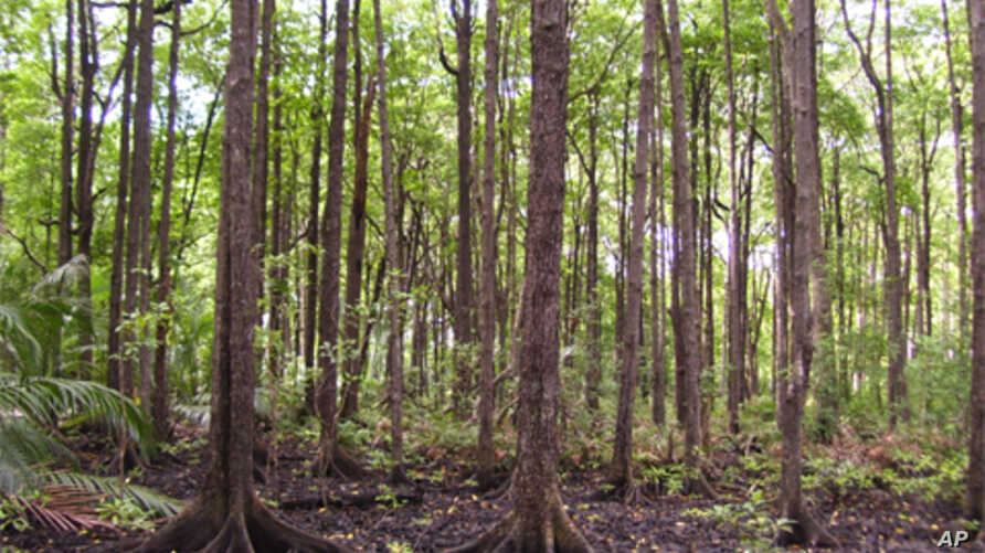 A tall mangrove forest on the island of Borneo. Mangroves often reside on thick sediment layers rich in organic matter, resulting in carbon storage exceeding most tropical forests.