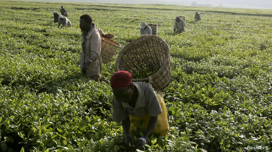 FILE - Workers pick tea at a plantation outside Kericho, Feb. 6, 2008.