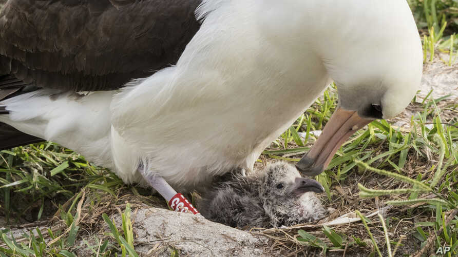 FILE - In this Feb. 7, 2017, photo provided by the U.S. Fish and Wildlife Service shows Wisdom and her new chick at the Midway Atoll National Wildlife Refuge in the Papahanaumokuakea Marine National Monument.