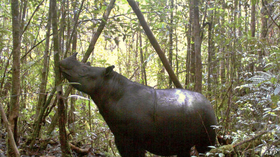 FILE - This handout photograph taken in 2011 and released by the Leuser International Foundation shows a Sumatran rhinoceros at the Mount Leuser National Park in Indonesia's Sumatran island.
