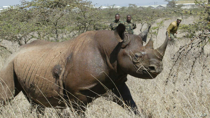 FILE - A  4-year  old Female black Rhino, runs  after it was darted at Nairobi National Park.