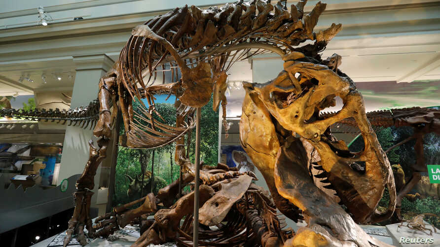 An Tyrannosaurus Rex skeleton is seen during a media preview for the reopening of the Smithsonian's Natural History Museum dinosaur and fossil hall after undergoing $110-million renovation in Washington, June 4, 2019.