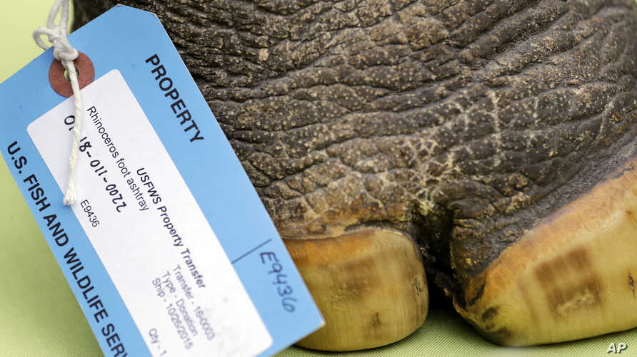 FILE - An ashtray made from a rhinoceros foot is displayed with other confiscated illegal animal parts at a news conference at the Woodland Park Zoo where an event to turn in endangered species animal parts was announced, April 3, 2019, in Seattle, W...