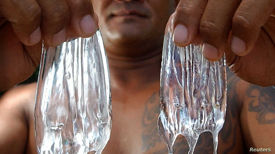Curtis Cuba, working his fourth year as an ocean safety officer (lifeguard) in Hawaii, holds up two box jelly fish, July 22, 2003 on Waikiki Beach.