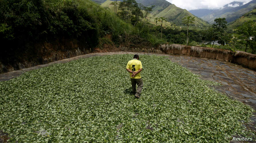 FILE - A coca farmer walks on coca leaves dried on a field  in the Amazon jungle valley of Monzon in Tingo Maria April 18, 2007.