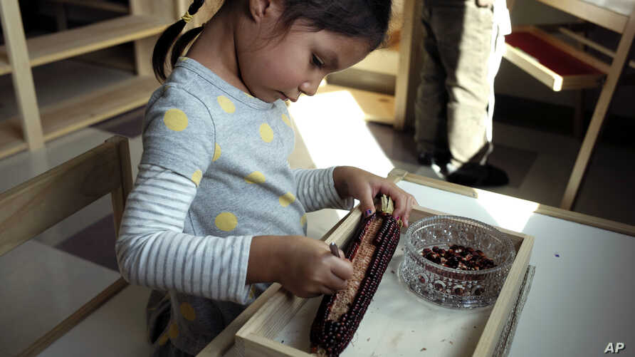 In this Oct. 12, 2017 photo a child in a combined pre-kindergarten and kindergarten Wampanoag language immersion class removes kernels from an ear of corn at the Wampanoag Tribe Community and Government Center, in Mashpee, Mass.