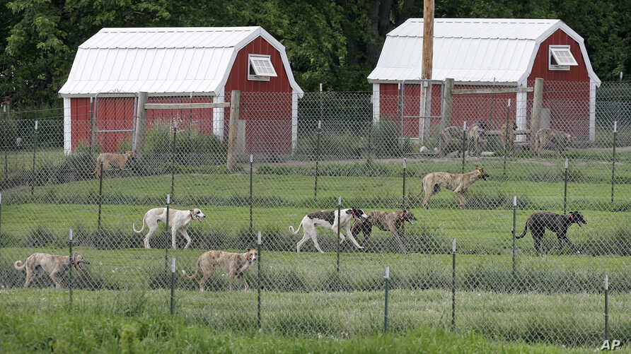 Greyhounds run in their pens at Alan Hill's kennel, May 26, 2006, near Radcliffe, Iowa.