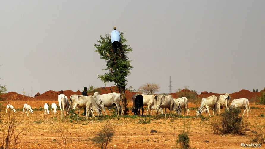 FILE - A herdsman climbs a tree as his animals graze in the mining town of Zamfara, Nigeria, April 21, 2016. An armed gang attacked villages in the area Friday, killing more than 30 people.