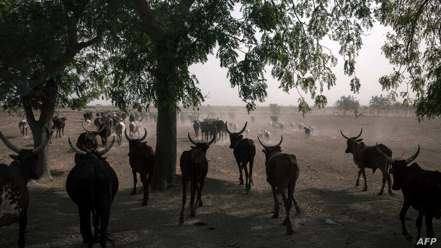 FILE - A herd of oxen crosses the road on the outskirts of Maroua, Cameroon, Feb. 20, 2018.