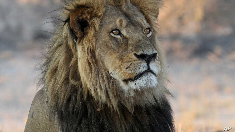 In this Nov. 20, 2013 photo, Cecil the Lion rests in Hwange National Park, Zimbabwe. The well-known lion was killed in Hwange during what authorities said was an illegal hunt.
