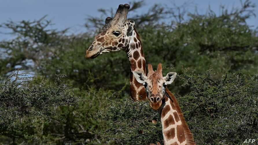 Reticulated sub-species of giraffe are seen at Loisaba conservancy in Laikipia, Kenya.