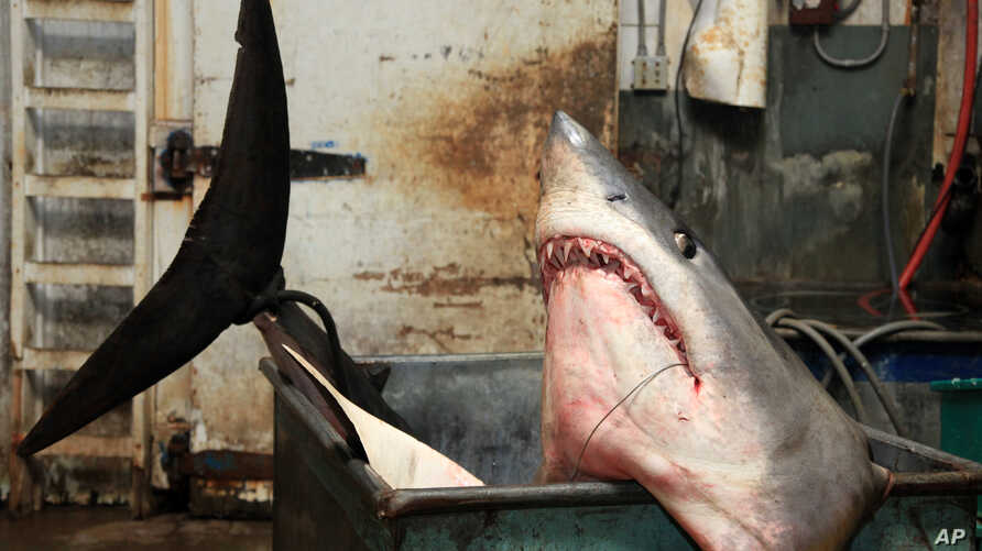 FILE - A mako shark in a tank at the New Fishall Bait Company that weighed in at 1323.5 pounds at the company's headquarters in Gardena, California.