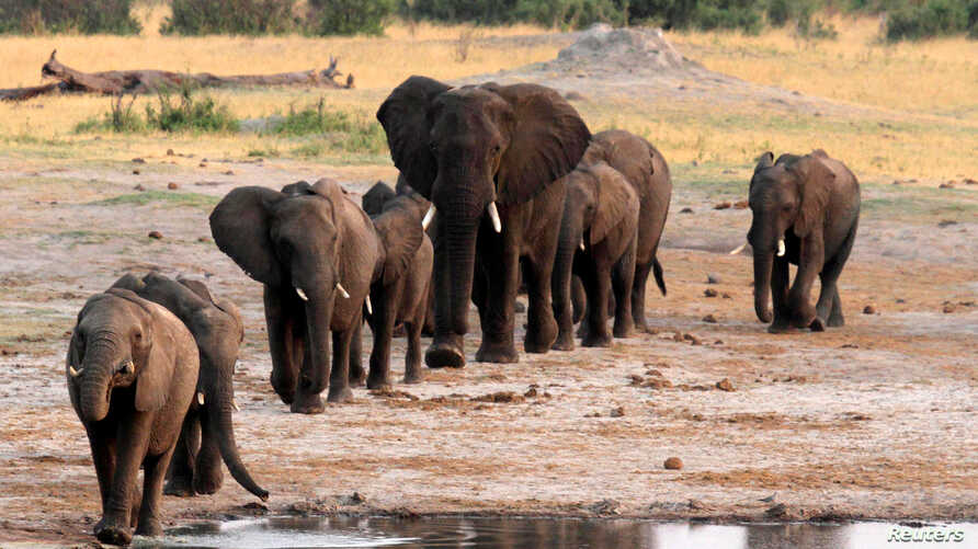 FILE - A herd of elephants walk past a watering hole in Hwange National Park, Zimbabwe, Oct. 14, 2014.