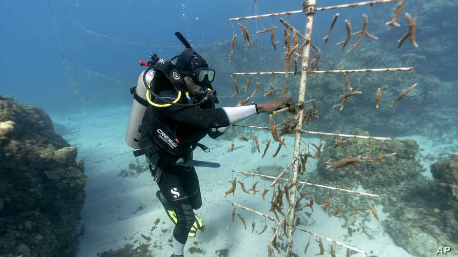 Diver Lenford DaCosta tends to lines of staghorn coral growing at an underwater nursery inside the Oracabessa Fish Sanctuary in Oracabessa, Jamaica, Feb. 12, 2019.