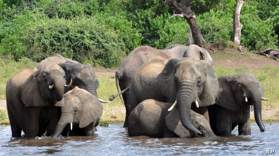In this March 3, 2013 file photo, elephants drink water in the Chobe National Park in Botswana.