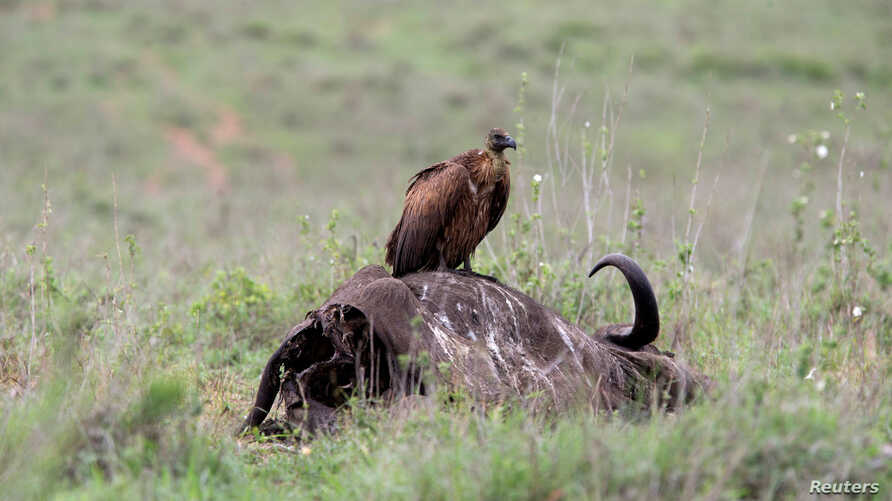 FILE - A vulture stands on top of an African buffalo carcass at Nairobi National Park near Nairobi, Kenya, May 12, 2017.